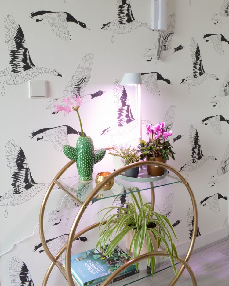 lamp plant